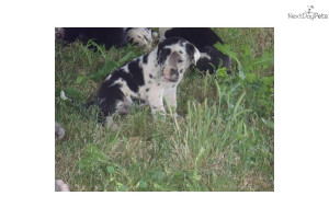 sold-----akc-great-dane-harlequin-male-pupdog-great-dane-puppy ...