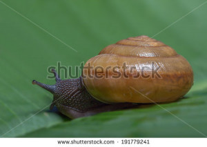 ... lands-snail-moving-on-banana-leaf-very-slow-but-sure-191779241.jpg
