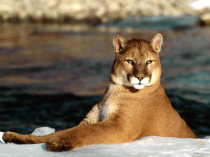 The Puma | A Beautiful Wild Animal