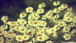Vintage Daisies Photography Wallpaper 1920x1080 Vintage, Daisies ...