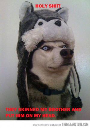Funny photos funny surprised dog husky