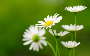 Daisies white Wallpapers Pictures Photos Images