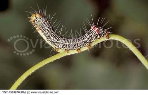 Grapevine Moth Phalaenoides