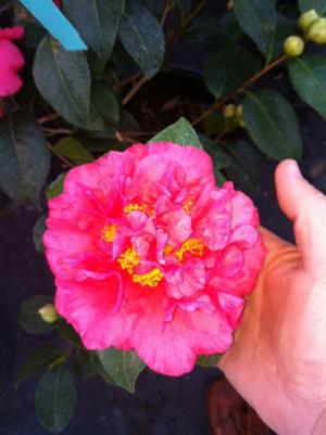 Kramer's Supreme - Camellia Season via Walter Anderson Nursery