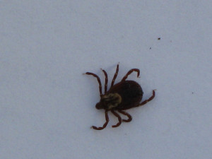 American Dog Tick Wood