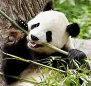 Pandas Predators Quotes. QuotesGram