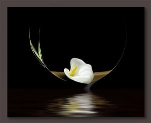 ... calla lily symbolizes brilliance of truth and holiness. Calla lilies