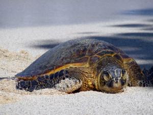 Hawaii Sea Turtles Are...