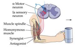 Upper Motor Neuron Green