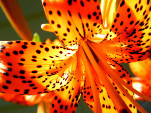 Tiger-lily,' said Alice, addressing herself to one that was waving ...