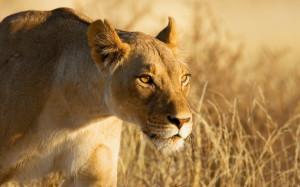 Lion Female 2560×1600 Wallpaper