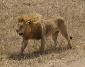 English: This is a picture of a lion that we t...