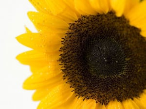 Tag: Sunflower Close Up Wallpapers, Images, Photos and Pictures for ...