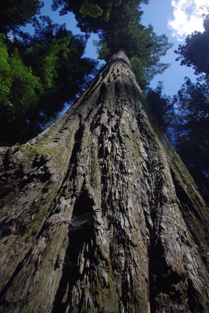 We just returned from 8 days camping in the ancient Redwood Forest. I ...