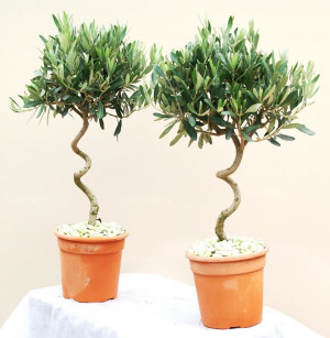 Quotes Pictures List: Olive Trees Olea Europaea Fruit Crops Olive Tree ...