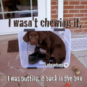 Funny Lab Puppy Pictures #dog #labrador #funny