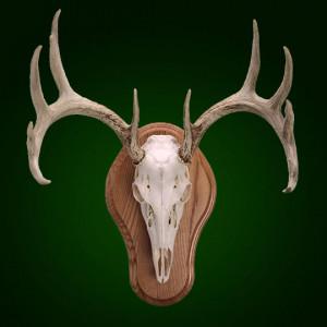 Euro-Taxidermy-Skull-Plaque-Antler-Mount