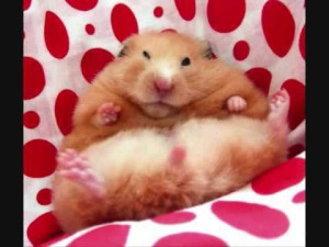 Funny Fat Hamsters