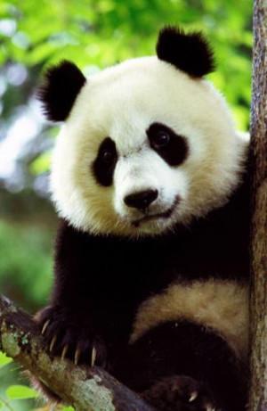giant panda quotes