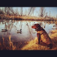 drake my chocolate lab duck hunting looks like a painting more labs ...