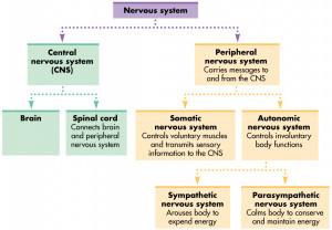 Nervous System Anization...