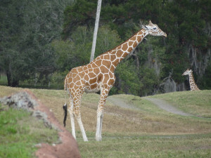 Fat Giraffe Funny Pictures