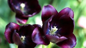 Download Dark purple tulips 1920x1080 Wallpaper