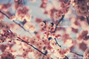 Early April Cherry Blossoms!!! oo/o o\oo #Flowers and #Photography via ...