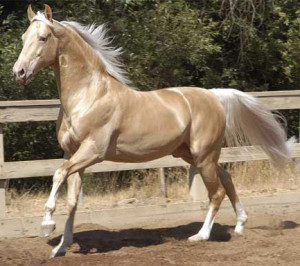 American Saddlebred - horse Breeds | ცხენის ...