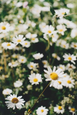 alana balverdú daisy tumblr backgrounds pretty daisy wallpaper daisy ...