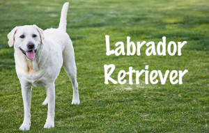 Dog Breeds: Labrador Retriever
