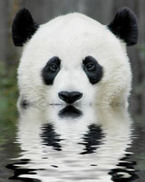 animals beautiful Panda wildlife endangered animals