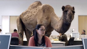 Hump-Day-commercial-Connecticut-students-banned-from-quoting-Geico-ad ...
