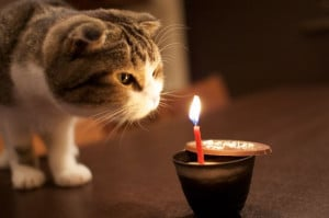 Scottish fold cat - Birthday