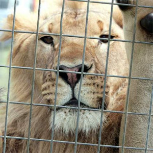... caged lion waits to perform at a circus. Photo:Barry Leddicoat/171352