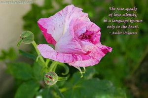 To Rose Speaks of love Silently ~ Flowers Quote