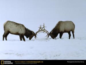 Fighting Bull Elk Pictures Desktop