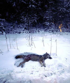 wolf lays on the snow after being shot by hunters on January 2, 2010 ...