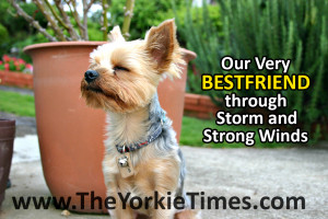 Yorkie Quotes Image Search Results Picture