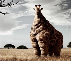 fat giraffe Image