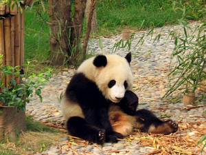 : Funny Panda Wallpapers, Funny Panda DesktopWallpapers, Funny Panda ...