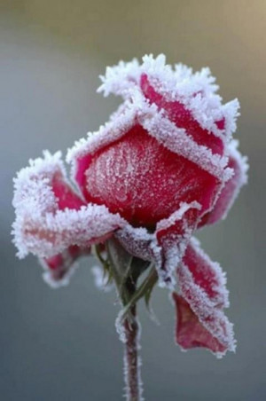 ... Inspirational Quotes, Motivational Thoughts and Pictures,rose with ice