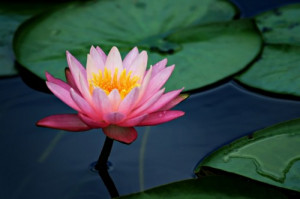 What does the Lotus have to do with Yoga?