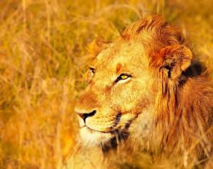 Wild African lion portrait in warm light, game drive animals wildlife ...