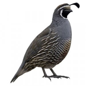 California Quail Coloring Page
