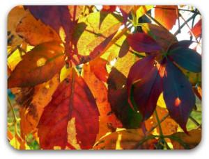 autumn-leaves-on-fence.jpg