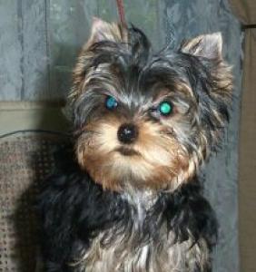 Wilson - Yorkshire Terrier