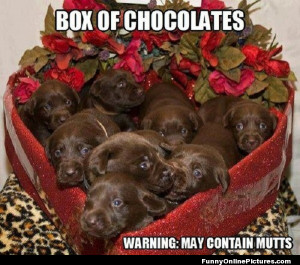 ... perfect chocolates for Valentine's day… chocolate labs that is