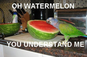 funny, funny pictures, parrot, animals, cute, watermelon