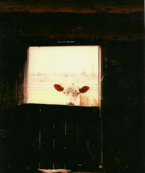 https://www.etsy.com/listing/127947946/farm-animal-photography-brown ...